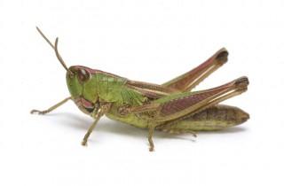 Meadow Grasshopper (Chorthippus parallelus) brachypterous female
