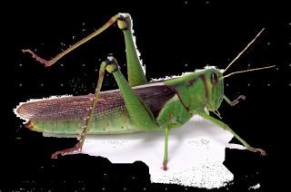 07308-Green-locust-white-background