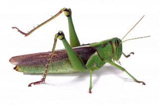07308-Green-locust-white-background